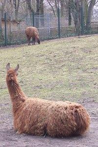 tierpark neukölln, hasenheide, lamas