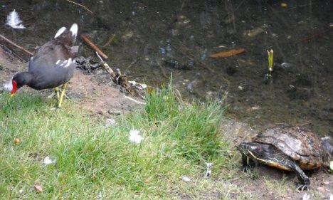 hasenheide, teichralle und schildkröte am rixdorfer teich, neukölln