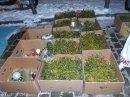 misteln_alt-rixdorfer weihnachtsmarkt_neukölln