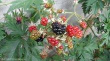 brombeeren_garten cafe botanico neukölln
