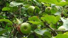 äpfel_garten cafe botanico neukölln