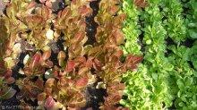 salat_nachbarschaftsgarten prachttomate_neukölln