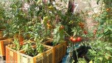 tomaten_nachbarschaftsgarten prachttomate_neukölln