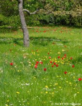 tulipan im britzer garten_berlin-neukoelln