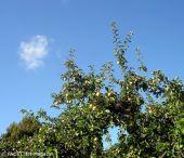 Obstbäume heute_Britzer Garten_Berlin-Neukölln
