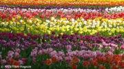 Tulipan_Britzer Garten Berlin-Neukölln