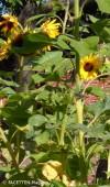 sonnenblumen neukoelln