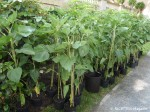 100 sonnenblumen koernerpark_neukoelln