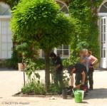 pflanzaktion_100 sonnenblumen koernerpark_neukoelln