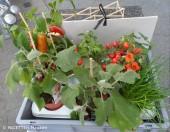 strassenacker-gemuesepflanzen_gartenarchipel sonnenallee_neukoelln